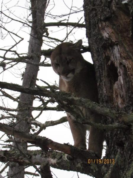 Mountain Lion 4