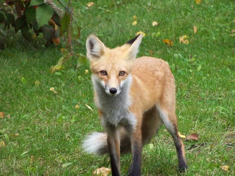 Foxy_Lady_009
