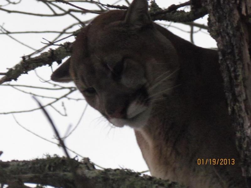 Mountain Lion 3